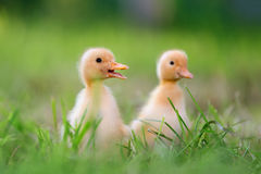 Two little duckling on green grass Stock Photos