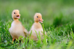 Two little duckling on green grass Stock Images