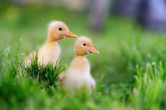 Two little duckling on green grass Stock Photography