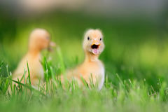 Two little duckling on green grass Royalty Free Stock Photo