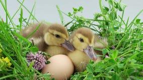 Two little duckling sitting near egg in green grass. Springtime, two little duckling sitting near egg in green grass stock video