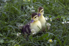 Two little duckling sitting in the tall green grass on the farm Royalty Free Stock Photo