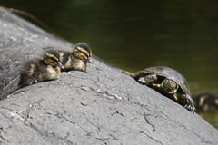 Two little duckling and turtle stock images