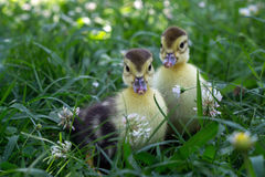 Two little duckling walking in the grass Royalty Free Stock Photography