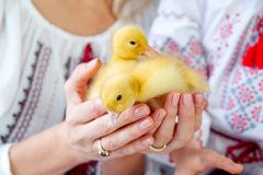 Two little ducklings in the hands of mother and daughter on a white background stock image