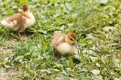 Two little ducklings running around on the grass Stock Image
