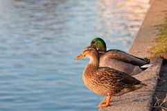 Two little ducks. Two ducks standing on a harbor wall catching the late afternoon sunshine, with the focus being ogn the front duck Royalty Free Stock Photos