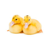 Two little ducks Stock Images