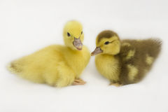 Two little ducks on a white background . Royalty Free Stock Photos