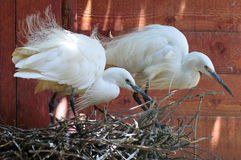 Two little egrets in nest Royalty Free Stock Photos