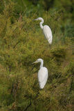Two Little Egrets perching on tree Royalty Free Stock Image