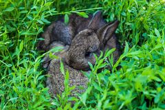 Two little fluffy bunny in the green grass. stock photography