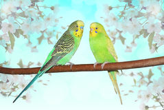 Two little fluffy parakeets on the branch with cherry flowers. Spring theme Royalty Free Stock Photos