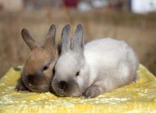 Two little funny fluffy Bunny sitting grey and brown stock photo