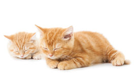 Two little Ginger british shorthair cats Royalty Free Stock Photos