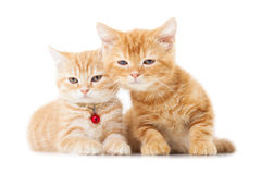 Two little Ginger british shorthair cats Stock Images