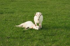 Two little goat in green grass royalty free stock photography