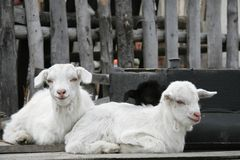 Two little goats Stock Image