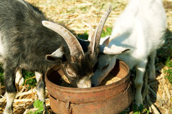 Two Little Goats Eat Stock Image