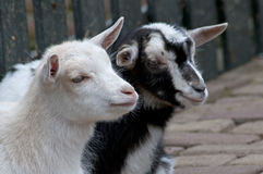 Two little goats Royalty Free Stock Images