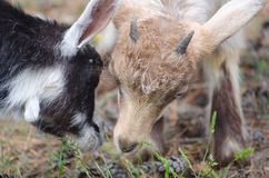 Two little goats on the farmyard. While feding up stock photography