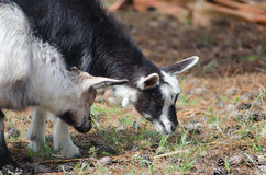 Two little goats on the farmyard. While feding up Stock Images