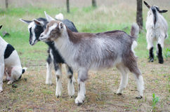 Two little goats on the farmyard. With other animals Royalty Free Stock Image