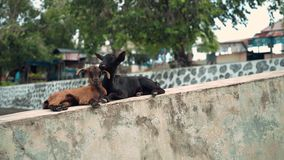 Two little goats lying together on concrete, brown and black with herpes stock video