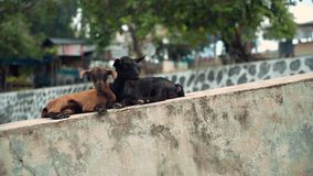 Two little goats lying together on concrete, brown and black with herpes stock video footage