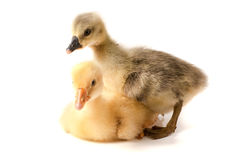 Two little gosling isolated on white background Royalty Free Stock Photo