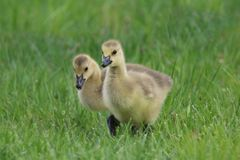 Two Little Goslings Stock Image