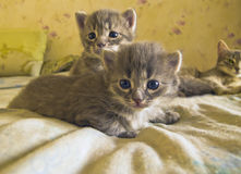 Two little gray kitten cautious look at the viewer.  Royalty Free Stock Image