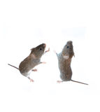 Two little gray mouse standing on its hind paws and looking up Stock Photos