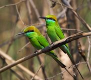 Two Little Green Bee eaters. Royalty Free Stock Photography