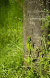 Two little green lizards on a tree bark Royalty Free Stock Photo