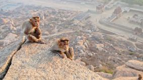 Little Grey Monkeys Sit on Cliff Watch against City Ruins. Two little grey monkeys sit on steep cliff stone eat against ancient Lakshmi temple ruins at morning stock video