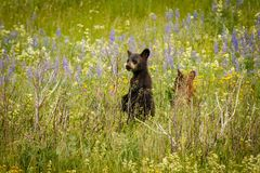 Two little grizzly cubs playing on blooming meadow, Waterton Lakes NP. Canadian wildlife, canadian bears, little bears, outdoorsy adventure stock photography