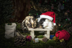 Two Little guinea pigs in Christmas mood Royalty Free Stock Photo