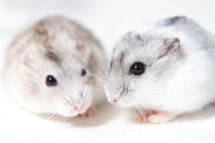 Two little hamsters on a table Stock Photo