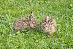 Two little hares Royalty Free Stock Images