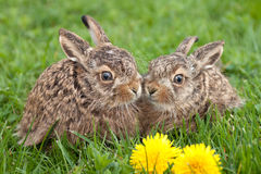 Two little hares Stock Photo