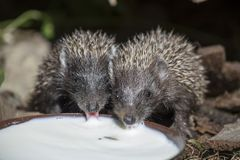 Two little Hedgehog drinking milk Royalty Free Stock Photo