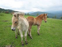 Two Little horses posing to camera Royalty Free Stock Image