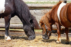 Two little horses Royalty Free Stock Image