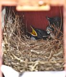Two little hungry black oriental magpie robin birds lay down safely in small cozy brown wooden nest in old rusty red mailbox. Waiting and calling their parents stock photo
