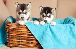 Two puppies in a basket Royalty Free Stock Images