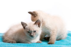 Two little identical Thai kittens on a blue rug. White background, close-up stock photography