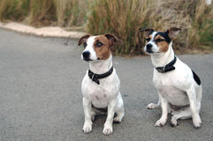 Two little Jack Russel dogs. Jack Russel dogs sitting royalty free stock photo