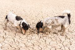 Two little Jack Russell Terrier dogs are digging on sandy cracked ground. Two cute little Jack Russell Terrier dogs are digging on sandy cracked ground stock photo