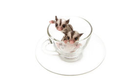 Two little joey in tea cup Royalty Free Stock Images